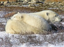 Mother and cub polar bear resting
