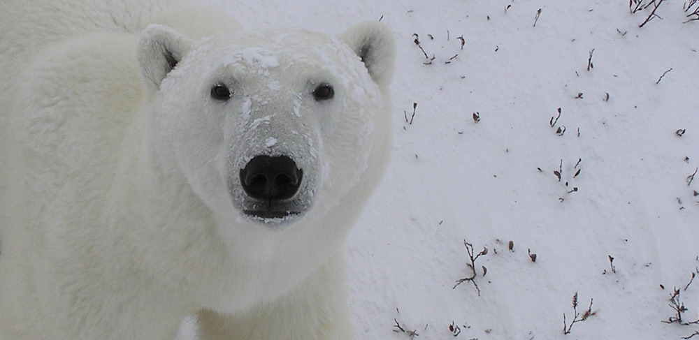 closeup of polar bear looking at camera