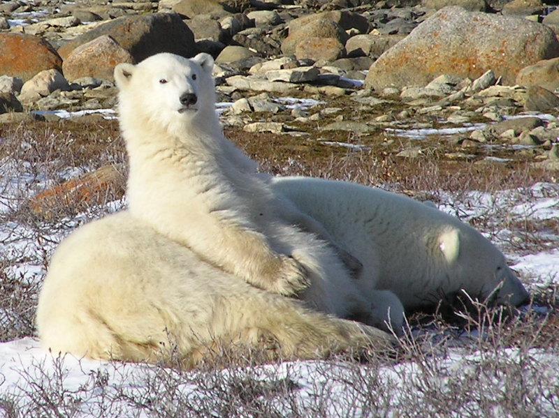 Polar Bear sitting and leaning against sleeping bear.