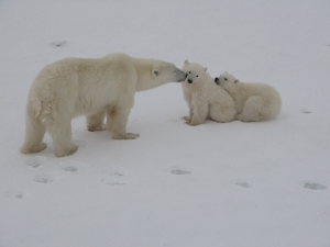 Polar Bear mother nosing her two cubs in line.