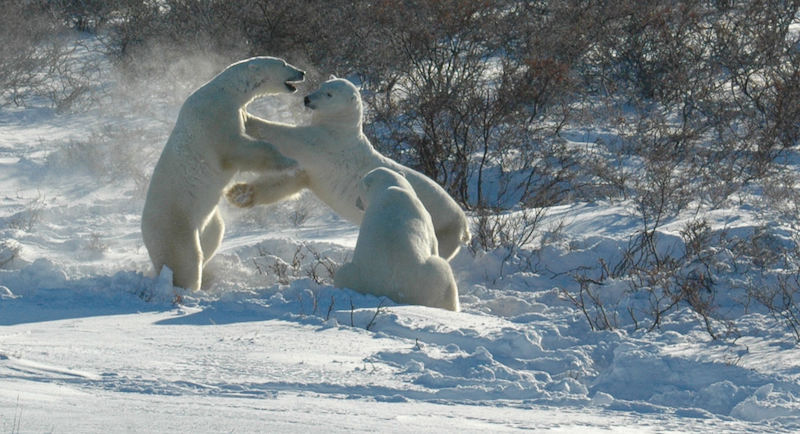 Two polar bears sparring with one watching on.